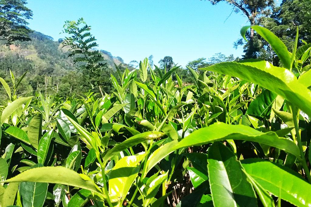Herbata - export